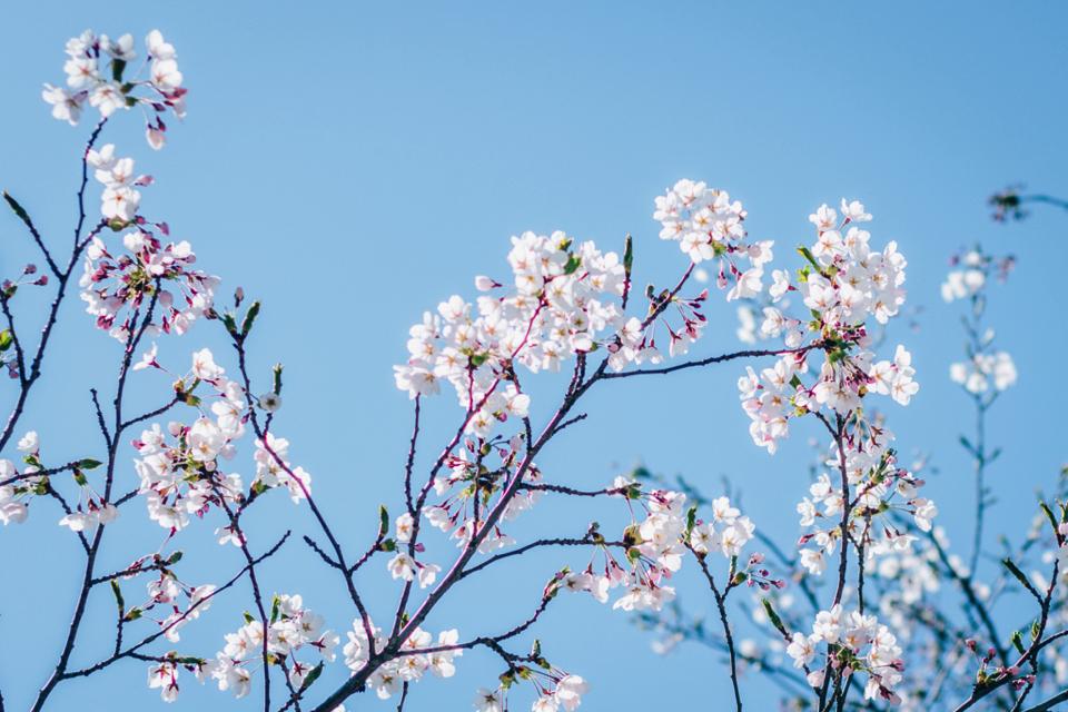 北海道の桜は遅咲き?新ひだか町・静内の二十間道路桜並木を見てきたけどまだ咲いていなかった